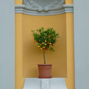 Kumquat in Gera