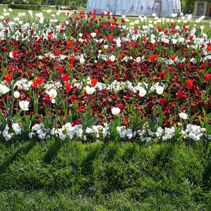 Tulpenmeer rot-weiß