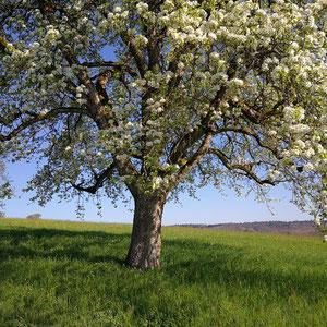 Blühender Obstbaum