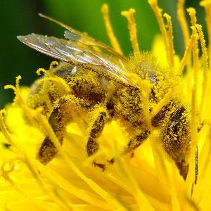 Une abeille (couverte de pollen) pollinisant une fleur. Source: wikipédia.