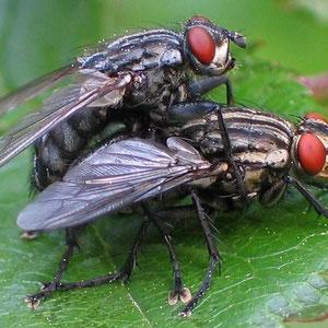 Deux mouches qui s'accouplent. Source: wikipédia.