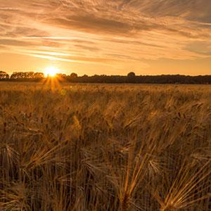 Weizenfeld während Sonnenuntergang