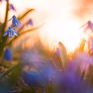 Blaues Wunder - Eine Nahaufnahme von blauen Scilla Blüten während des Sonnenuntergangs