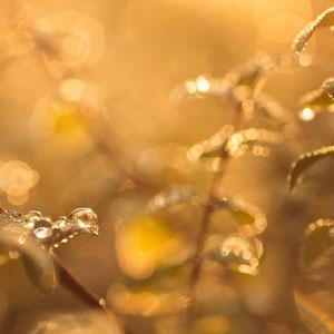 Natur - Macro, Makro, Blumen, Pflanzen, Tautropfen - Verkauf auf Zoomwork