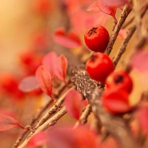 Roter Beerenstrauch - Nahaufnahme eines Cotoneaster-Buschs