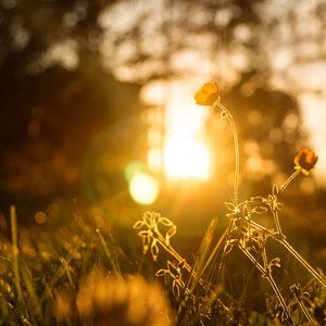 Gelbe Liebe - Nahaufnahme einer Wiese mit gelben Sonnenuntergang