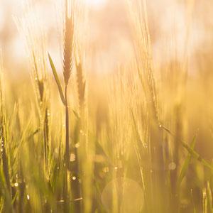 Natur - Macro, Makro, Blumen, Pflanzen, Weizen - Verkauf auf Zoomwork