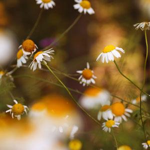 Natur - Macro, Makro, Blumen, Pflanzen, Arnika - Verkauf auf Zoomwork
