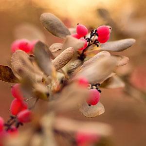 Beeren im Licht - Pinke Beeren am Strauch während des Sonnenaufgangs