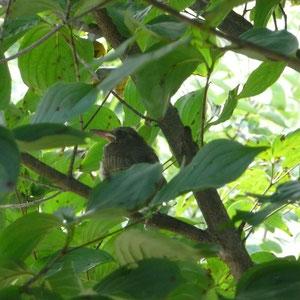 やまぼうしの樹にとまっている雛