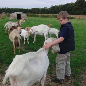 Laura und Lisa - die beiden großen weißen Ziegen - sind handzahm und unsere Urgesteine