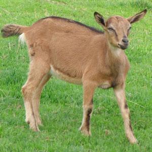 Unsere kleine rehbraune Ziege mit dem schwarzen Aalstrich auf dem Rücken.