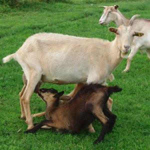 Ziegenlämmer saugen immer gleichzeitig bei der Mutter - so bekommt jeder gleich viel.
