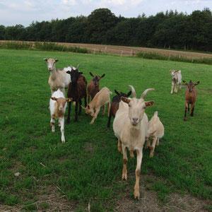 Unsere Ziegenherde ist eine große Familie, ständig sind sie neugierig und auf der Suche nach Futter.