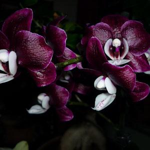 Phalaenopsis,Taiwanhybride