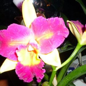Cattleya Potinara Shin Shiang Diamond Duftorchidee