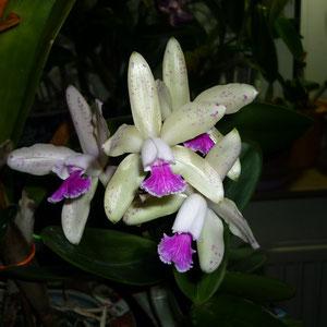 """Diese """"Interglossa"""" ist von Blue Cattleya, auch sie war im Sommer draußen. Eine Traumpflanze."""