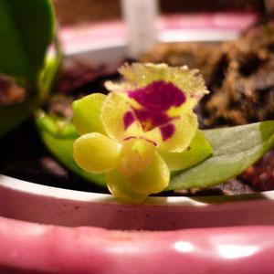 Miniatur Orchidee,erste Blüte. Zweite wächst heran.
