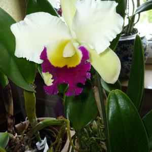 Hybride, sehr schöner Duft und große Blüte.
