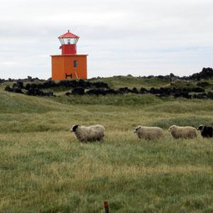 Isländische Schafe auf Snæfellsnes