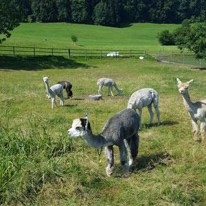 Alpakas auf Wiese