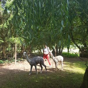 Alpakas auf der Alpaka Farm