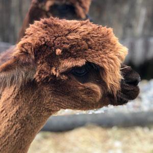 Alpaka Hazel von der Seite