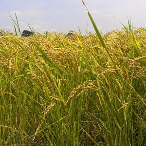 9月上旬 稲穂が黄色く色づき、しっかり頭を垂れております。これから稲刈り開始!!
