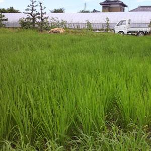 7月中旬 すくすく育ち、まっすぐ良い緑色に成長中!
