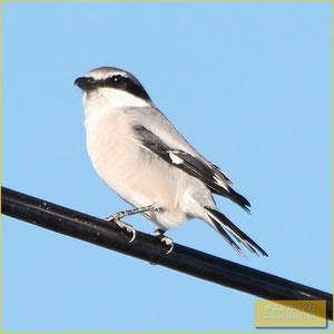 Southern Gray Shrike - Picanço real meridional - Lanius meridionalis