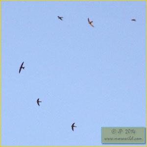 Common Swift - Andorinhão preto - Apus apus