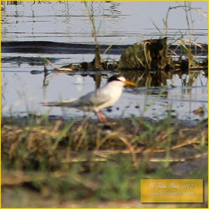 Little tern - Chilreta - Sternula albifrons