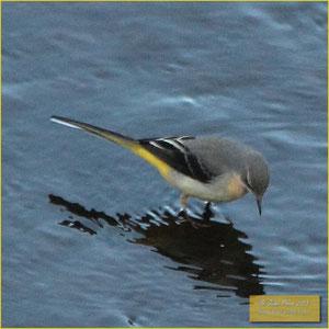 Gray Wagtail - Alvéola cinzenta - Motacilla cinerea