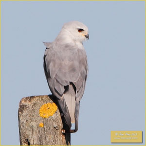 Black-shouldered Kite - Peneireiro cinzento - Elanus caeruleus