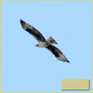 Bonelli's Eagle - Águia perdigueira - Aquila fasciata