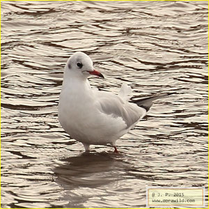 Black-headed Gull - Guincho comum - Chroicocephalus ridibundus