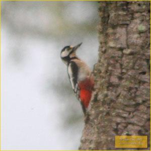 Pica-pau-malhado Dendrocopos major