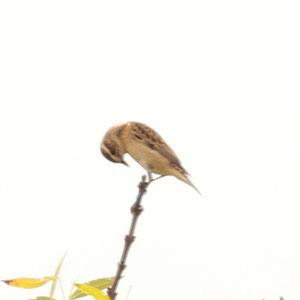 Whinchat - Cartaxo nortenho - Saxicola rubetra