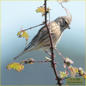 Eurasian Linnet - Pintarroxo de bico escuro - Carduelis cannabina