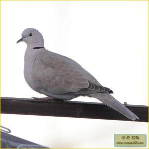 REurasian Collared-Dove - Rola de colar - Streptopelia decaoctoola-de-colar Streptopelia decaocto