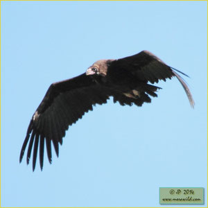 Cinereous Vulture - Abutre preto - Aegypius monachus