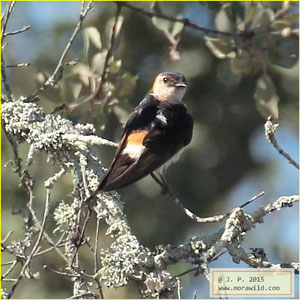 Red-rumped Swallow - Andorinha dáurica - Cecropis daurica