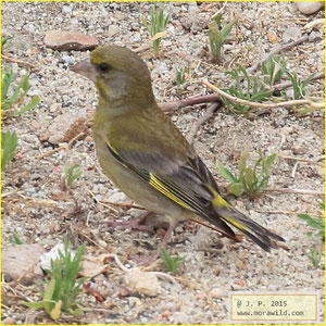 European Greenfinch - Verdilhão - Chloris chloris