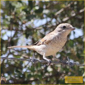 Woodchat Shrike - Picanço barreteiro - Lanius senator