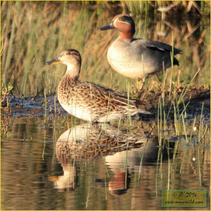 Green-winged Teal - Marrequinha-comum - Anas crecca