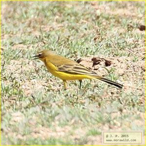 Western Yellow Wagtail - Alvéola-amarela - Motacilla flava