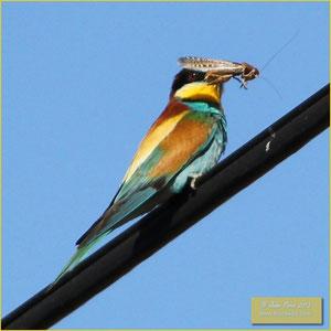 Bee eater - Abelharucos - Merops apiaster