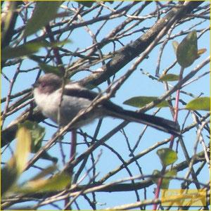 Long-tailed Tit - Chapim rabilongo - Aegithalos caudatus