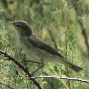 Iberian Chiffchaff - Felosa ibérica - Phyiloscopus ibericus