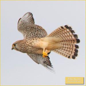 Eurasian Kestrel - Peneireiro dorso malhado -Falco tinnunculus